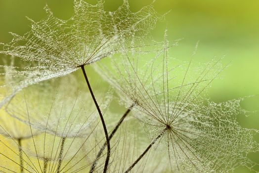 Winged seeds of dandelion head plant with dew drops