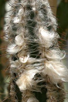 old man cactus beard growing around thorns