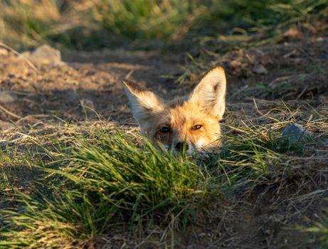 Fox Peeking from Den