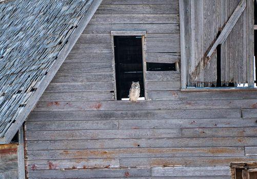 Great Horned Owl Barn