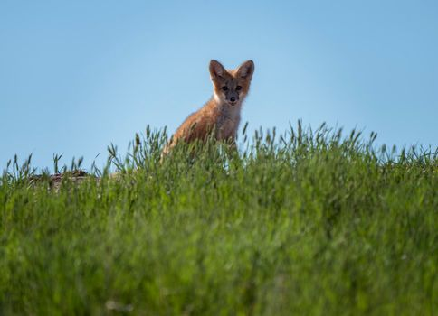 Fox Kits at Den