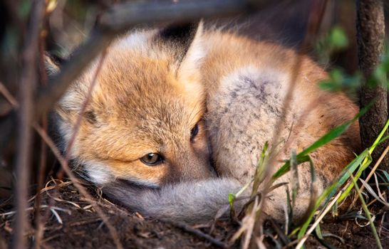 Fox laying  from Den
