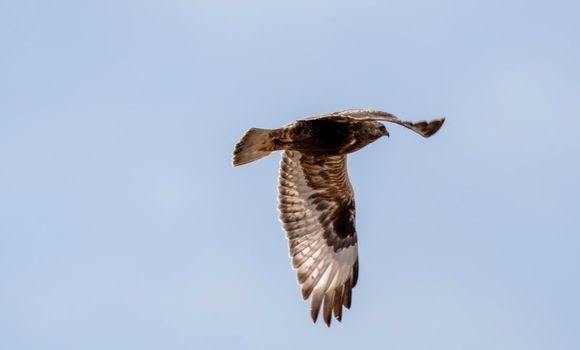 Rough legged Hawk in Saskatchewan