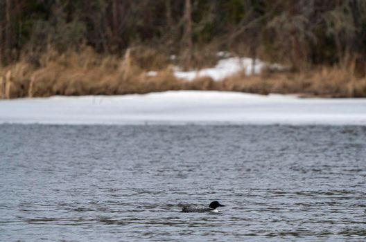 Northern Common Loon