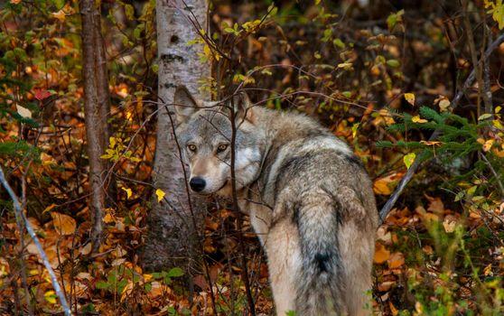 Wild Timber Wolf Canada