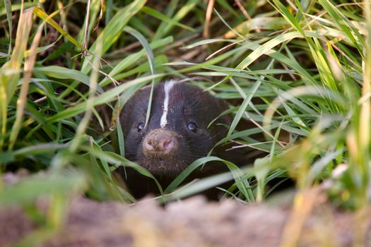Baby Skunk Peeking