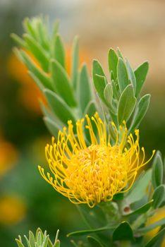 Pincushion flower formation of Leuocospermum cordifolium