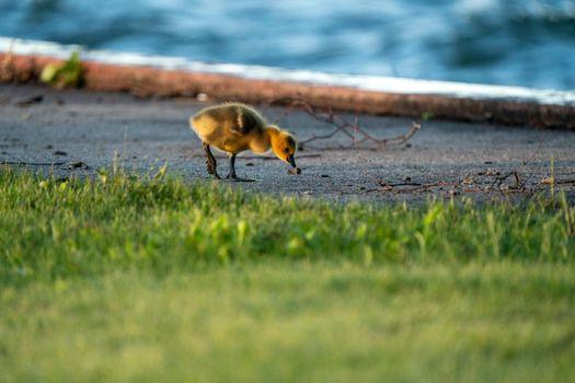 Goose Goslings Canada