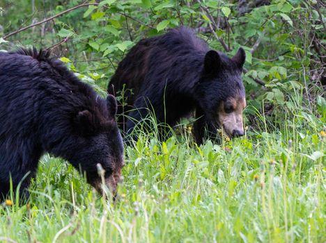 Black Bear Northern Canada