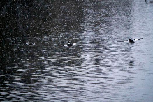 Goldeneye Ducks Saskatchewan