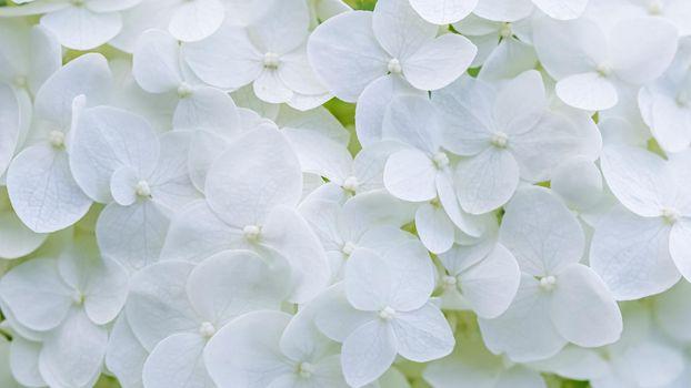 Background of white flowers. Hydrangea or hortensia in blossom.