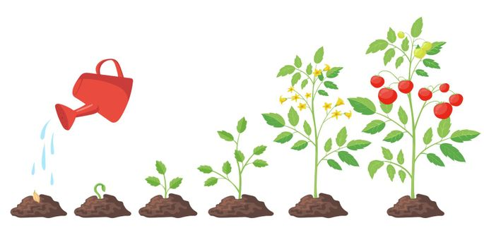 Cycle of growth of tomato plant vector illustrations set