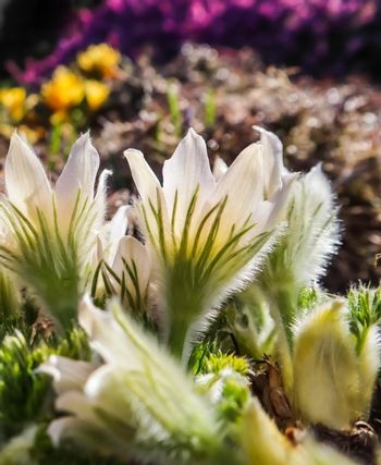 Opening of beautiful white silky flowers (pulsatilla alpina) in the spring garden