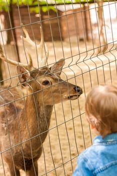 The head of an artiodactyl mammal deer. A young deer in a pen.