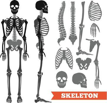 Human Bones And Skeleton Set