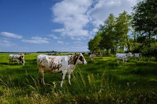 Dutch Brown and White cows, Urk Netherlands,Black and white cows in a grassy field on a bright and sunny day in The Netherlands