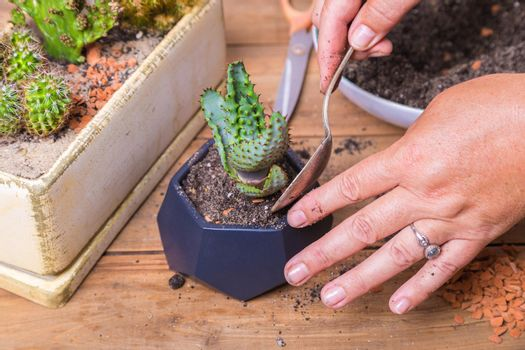 A woman transplants a cactus flower into a small figured flower pot.