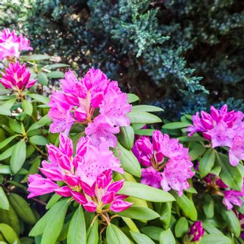 Blooming pink rhododendron flowers in spring. Gardening concept