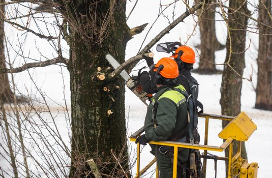 Spring pruning. Workers sawed off tree branches in the park