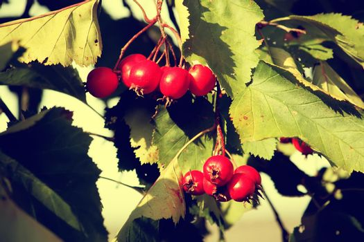 Red berries on thorny branches