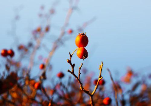 Crataegus laevigata, midland or English hawthorn or mayflower ripe berries at autumn.