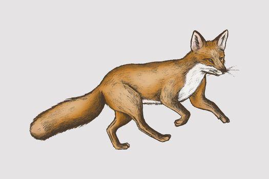 Vintage furry brown fox vector