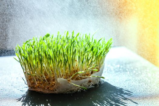 Germination Sprouted wheat on table. Roots, food, health. Micro green sprouts. Organic, vegan healthy food concept. Home gardening Watering Seedlings.