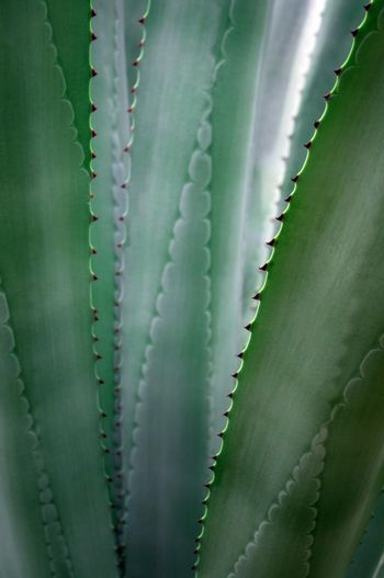 Succulent plant close-up, fresh leaves detail of Agave americana