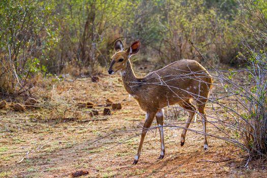 Bushbuck in Kruger National park, South Africa