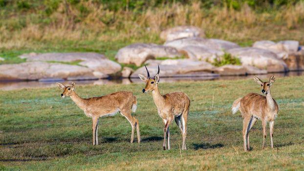 Bohor reedbuck in Kruger National park, South Africa