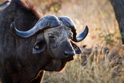 African buffalo in Kruger National park