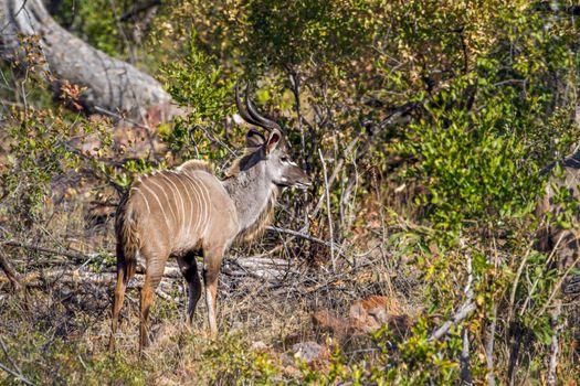 Nyala in Kruger National park, South Africa