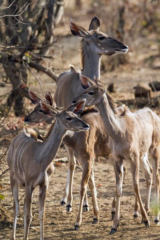 Nyala in Kruger National park