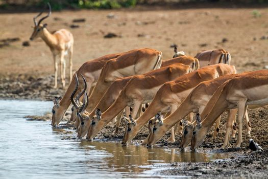 Impala in Kruger National park, South Africa