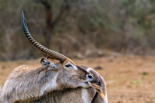 Waterbuck in Kruger National park, South Africa