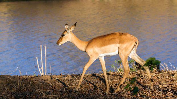 Impala in Kruger National park