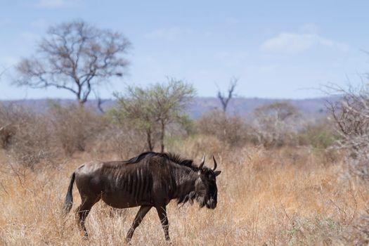 Blue wildebeest in Kruger National park
