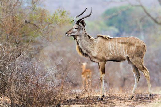 Greater kudu in Kruger National park