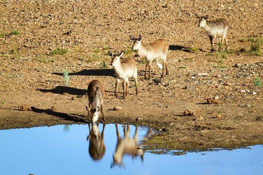 Waterbuck in Kruger National park