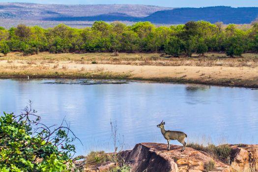 Klipspringer in Kruger National park, South Africa