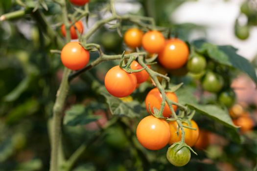 Sun ripe tomatoes, growing on vine, in natural daylight