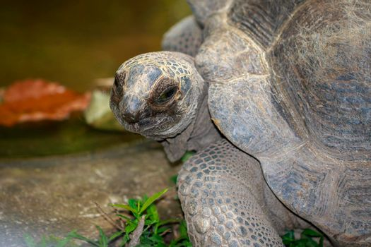 Image of Elongated tortoise Turtle(Indotestudo elongata) on the floor. reptile. Animals.