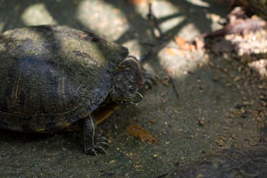 Image of Red-eared slider Turtle (Trachemys scripta elegans) on the floor. Reptile. Animals.