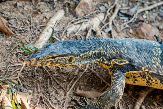 Image of a bengal monitor.  Reptile Animals.