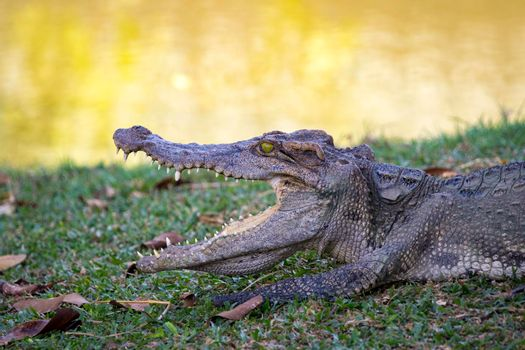 Image of a crocodile on the grass. Reptile Animals.