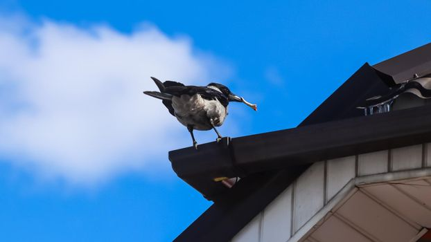 Magpie with a bone in its beak on the roof of the house against a blue sky with white cloud