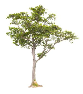 The freshness big green tree isolated on white
