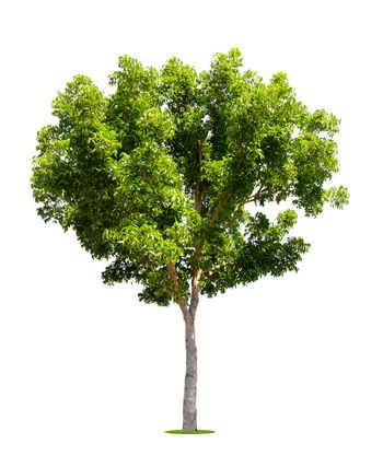 The freshness big green tree isolated on white.