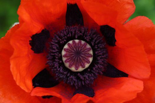 Macro shot of red poppy flower stamen and pistil