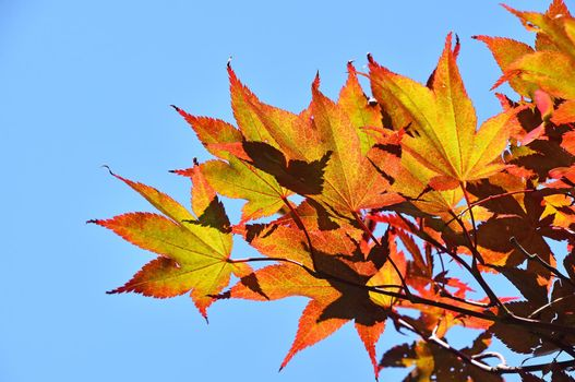 Autumn Japanese acer or maple leaves